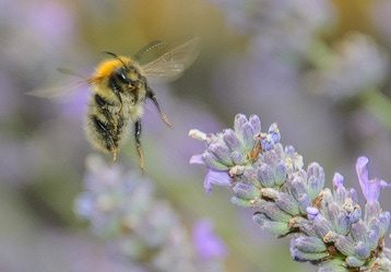 Bee on Lavender Flower Grand Junction Colorado Lavender Fest