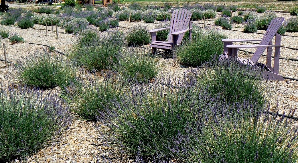 Photo of Lavender Association of Western Colorado Festival 2016 Garden