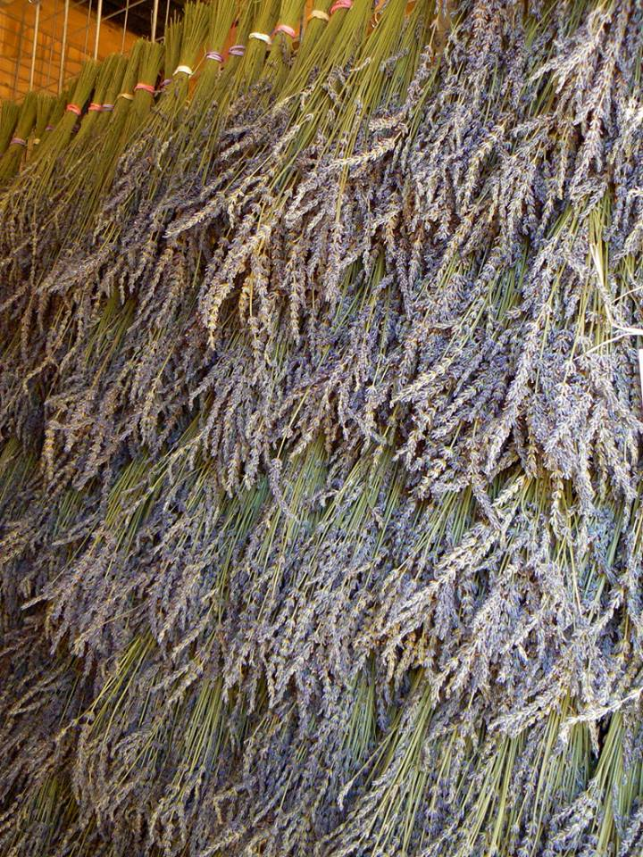 Lavender Association of Western Colorado Lavender Drying