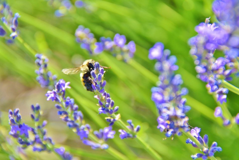 Lavender Flower with Bee in Field